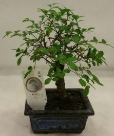 Minyatür ithal japon ağacı bonsai bitkisi  Uşak çiçek satışı