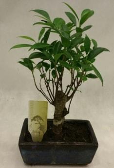 Japon ağacı bonsai bitkisi satışı  Uşak çiçekçi telefonları