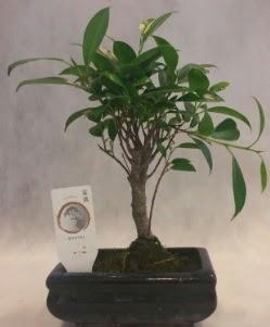 Bonsai japon ağacı bitkisi satışı  Uşak çiçek gönderme sitemiz güvenlidir