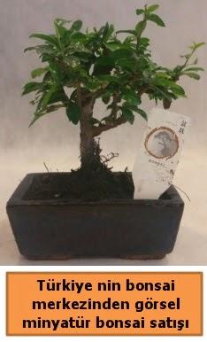 Japon ağacı bonsai satışı ithal görsel  Uşak çiçek yolla
