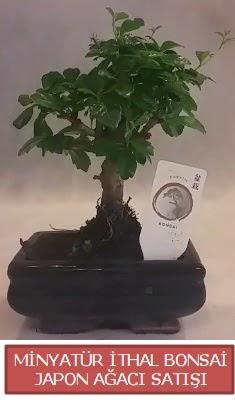 Küçük görsel bonsai japon ağacı bitkisi  Uşak çiçek , çiçekçi , çiçekçilik