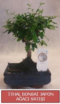 İthal küçük boy minyatür bonsai ağaç bitkisi  Uşak çiçekçi telefonları
