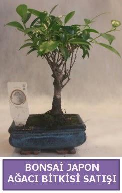 İthal Bonsai japon ağacı bitkisi satışı  Uşak İnternetten çiçek siparişi