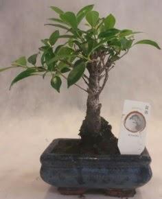 Bonsai ağacı japon ağaç bitkisi  Uşak çiçek yolla