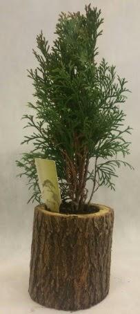 SINIRLI STOK Selvi Bonsai Doğal kütükte  Uşak İnternetten çiçek siparişi