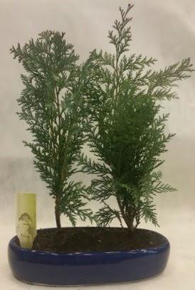 SINIRLI SAYIDA Selvi Ağacı bonsai ikili  Uşak çiçekçi telefonları
