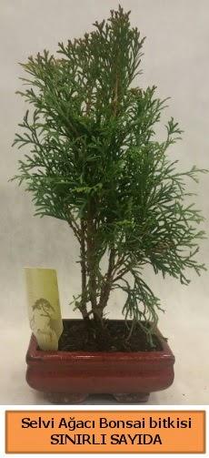 Selvi ağacı bonsai japon ağacı bitkisi  Uşak çiçek satışı