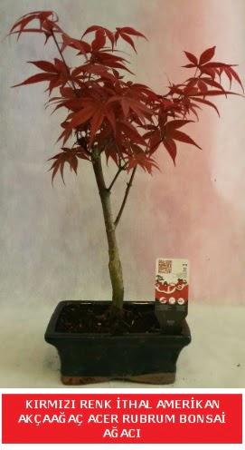 İTHAL ACER RUBRUM BONSAİ AĞACI  Uşak çiçek gönderme sitemiz güvenlidir