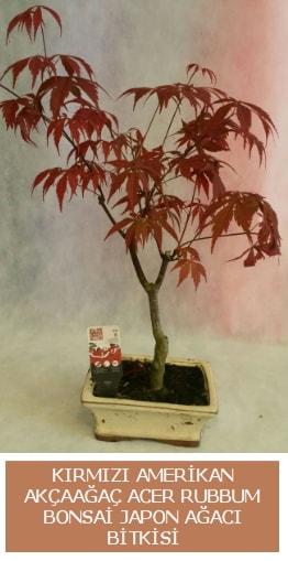 Amerikan akçaağaç Acer Rubrum bonsai  Uşak uluslararası çiçek gönderme