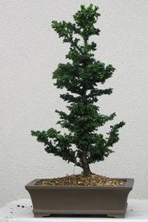 Çam ağacı bonsai bitkisi satışı  Uşak çiçekçi telefonları