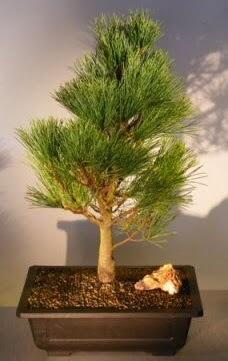 Çam ağacı japon ağacı bitkisi bonsai  Uşak çiçekçi telefonları