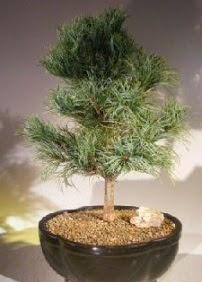 Çam ağacı bonsai bitkisi satışı  Uşak ucuz çiçek gönder