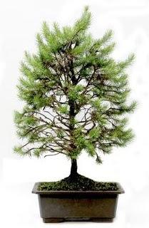 *** STOKTA YOK - Çam ağacı bonsai bitkisi satışı  Uşak cicekciler , cicek siparisi