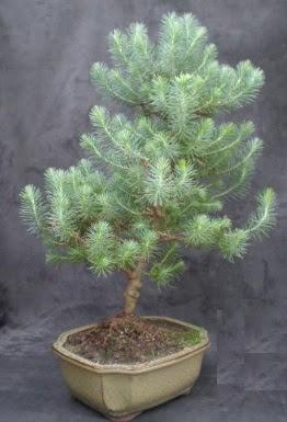 Bonsai çam ağacı japon ağacı bitkisi  Uşak çiçek gönderme sitemiz güvenlidir