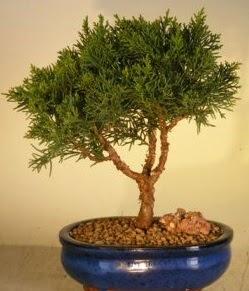 Servi çam bonsai japon ağacı bitkisi  Uşak çiçek yolla