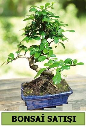 Çam bonsai japon ağacı satışı  Uşak çiçek satışı