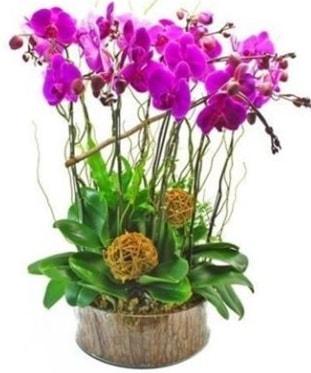 Ahşap kütükte lila mor orkide 8 li  Uşak internetten çiçek satışı