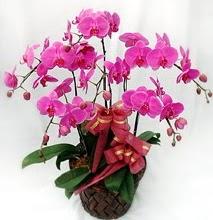 Sepet içerisinde 5 dallı lila orkide  Uşak ucuz çiçek gönder