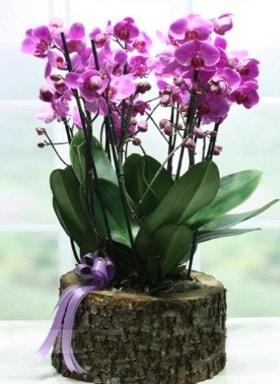 Kütük içerisinde 6 dallı mor orkide  Uşak ucuz çiçek gönder