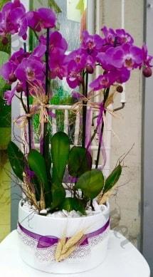 Seramik vazoda 4 dallı mor lila orkide  Uşak online çiçek gönderme sipariş
