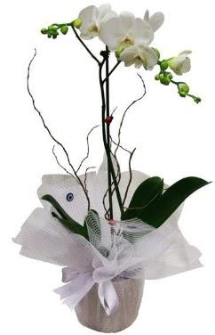 Tek dallı beyaz orkide  Uşak cicek , cicekci