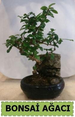 Bonsai ağacı japon ağacı satışı  Uşak hediye çiçek yolla
