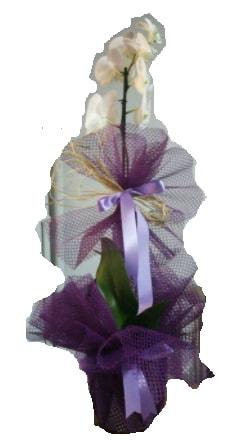 Tek dallı beyaz orkide süper kalite ithal  Uşak çiçek siparişi sitesi
