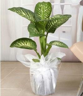 Tropik saksı çiçeği bitkisi  Uşak çiçek satışı