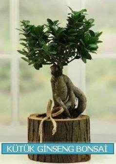 Kütük ağaç içerisinde ginseng bonsai  Uşak çiçek gönderme sitemiz güvenlidir