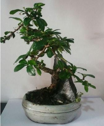 S şeklinde ithal bonsai ağacı  Uşak çiçek yolla