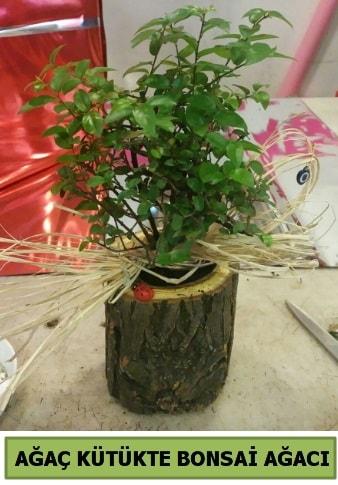 Doğal ağaç kütük içerisinde bonsai ağacı  Uşak çiçek gönderme sitemiz güvenlidir