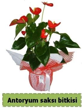 Antoryum saksı bitkisi satışı  Uşak çiçek , çiçekçi , çiçekçilik