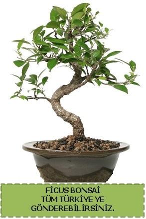 Ficus bonsai  Uşak çiçek gönderme sitemiz güvenlidir