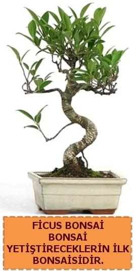 Ficus bonsai 15 ile 25 cm arasındadır  Uşak çiçek yolla