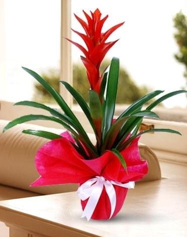 Guzmanya Saksı Çiçeği  Uşak çiçek yolla