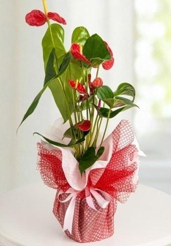 Anthurium Saksı Çiçeği  Uşak hediye çiçek yolla