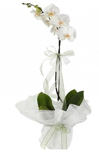 Tekli Beyaz Orkide  Uşak hediye çiçek yolla