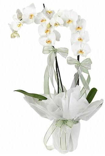 Çift Dallı Beyaz Orkide  Uşak anneler günü çiçek yolla