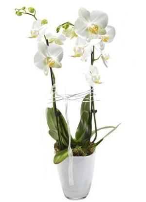 2 dallı beyaz seramik beyaz orkide saksısı  Uşak çiçek gönderme sitemiz güvenlidir