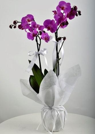 Çift dallı saksıda mor orkide çiçeği  Uşak çiçek siparişi vermek
