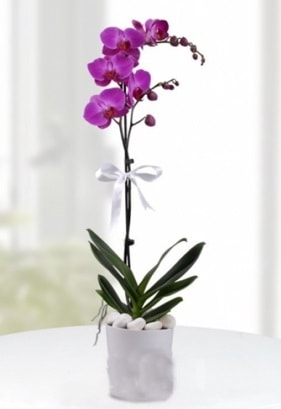 Tek dallı saksıda mor orkide çiçeği  Uşak çiçekçiler