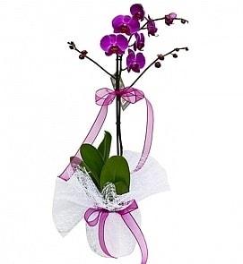 Tek dallı saksıda ithal mor orkide çiçeği  Uşak çiçekçiler
