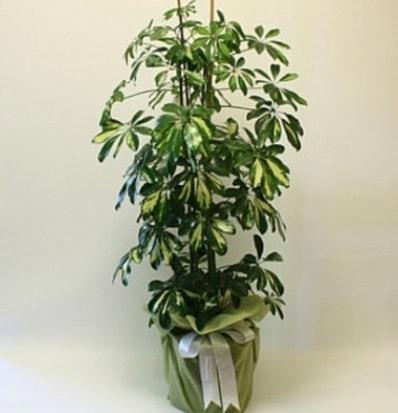 Şeflera salon bitkisi  Uşak çiçek gönderme
