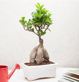 Exotic Ficus Bonsai ginseng  Uşak çiçek servisi , çiçekçi adresleri