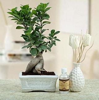 Ginseng ficus bonsai  Uşak çiçekçiler