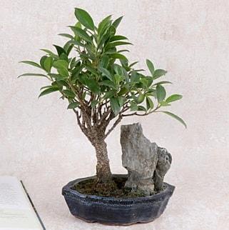 Japon ağacı Evergreen Ficus Bonsai  Uşak çiçek gönderme sitemiz güvenlidir