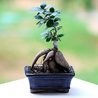 Marvellous Ficus Microcarpa ginseng bonsai  Uşak çiçek siparişi vermek