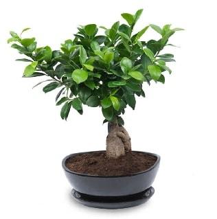 Ginseng bonsai ağacı özel ithal ürün  Uşak internetten çiçek satışı