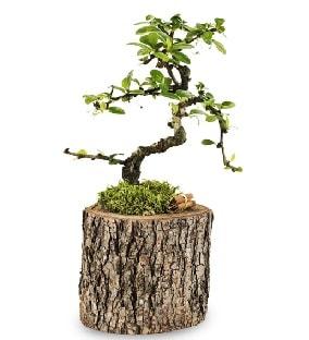Doğal kütükte S bonsai ağacı  Uşak çiçek satışı