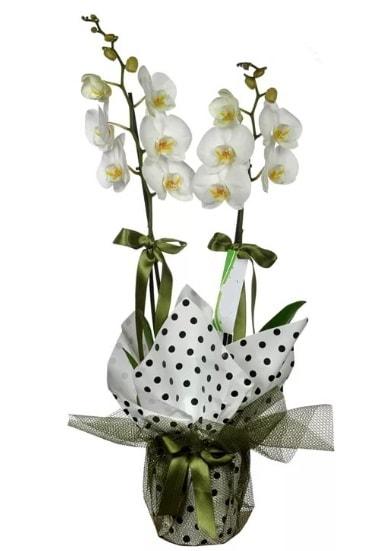 Çift Dallı Beyaz Orkide  Uşak 14 şubat sevgililer günü çiçek